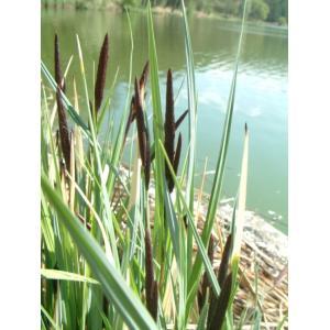 Ostřice obecná - Carex Nigra, výrobce: Star-fish