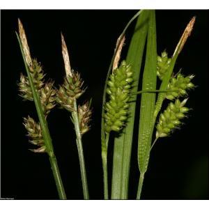 Ostřice kulkonosná - Calex pilulifera, výrobce: Star-fish