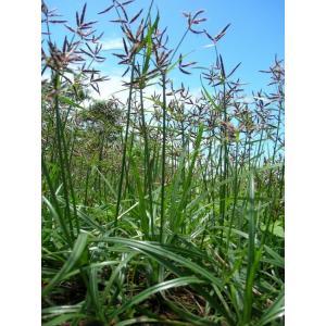 Zelenošáchor dlouhý - Cyperus longus, výrobce: Star-fish