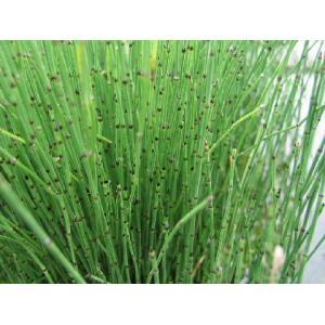 Přeslička pestrá - Equisetum variegatum, výrobce: Star-fish