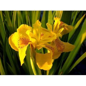 Kosatec žlutý - Iris pseudacorus, výrobce: Star-fish