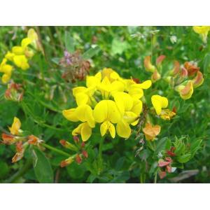 Štírovník bažinný - Lotus uliginosus, výrobce: Star-fish