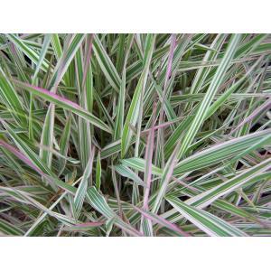 Lesknice rákosovitá - Phalaris arundinacea picta, výrobce: Star-fish