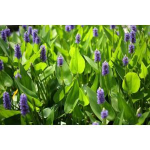 Modráska srdčitá - Pontederia cordata, výrobce: Star-fish