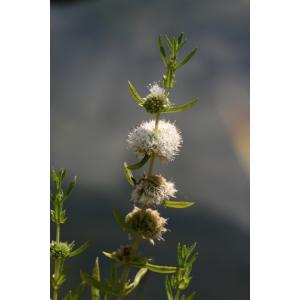 Preslia bílá - Preslia cervina alba, výrobce: Star-fish