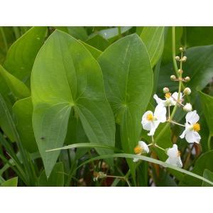 Šípatka širokolistá - Sagittaria latifolia, výrobce: Star-fish